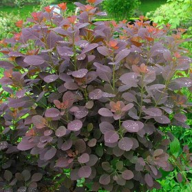Cotinus coggygria Royal Purple (ruj obecná)