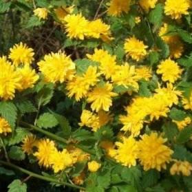 Kerria japonica Pleniflora (zákula japonská)
