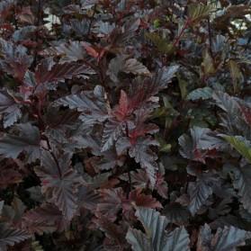 Physocarpus opulifolius Red Baron (tavola kalinolistá)