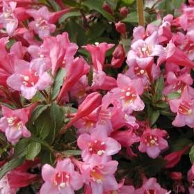 Weigela florida Piccolo (vajgélie květnatá)