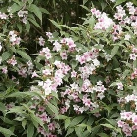 Weigela florida Splendid (vajgélie květnatá)