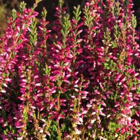 Calluna vulgaris Athene (vřes obecný)
