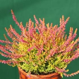Calluna vulgaris Bonita (vřes obecný)