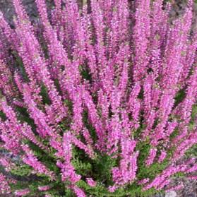 Calluna vulgaris Liliane (vřes obecný)