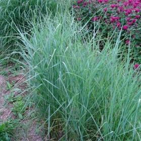 Panicum virgatum Prairie Sky (proso prutnaté)