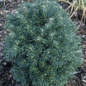Abies lasiocarpa Green Globe (jedle plstnatoplodá)