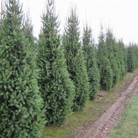Picea abies Cupressina (smrk ztepilý)
