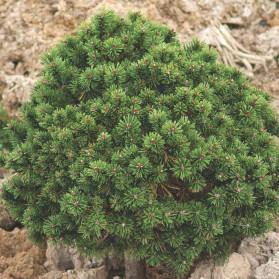 Pinus mugo Mops Sport (borovice kleč)