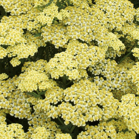 Achillea millefolium Summer Fruits Lemon (řebříček obecný)