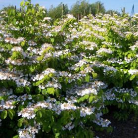 Viburnum plicatum Lanarth (kalina japonská)