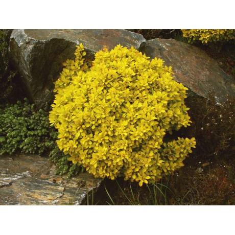 Berberis thunbergii Goldalita (dřišťál thunbergův)