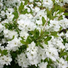 Exochorda racemosa Snow Mountain (hroznovec)