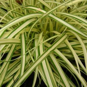 Carex hachijoensis Evergold (ostřice)