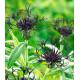 Centaurea montana Black Sprite (chrpa horská)