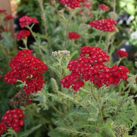 Achillea millefolium Red Velvet (řebříček obecný)