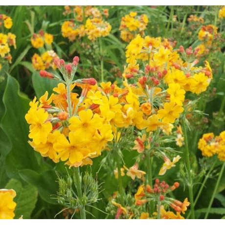 Primula bulleyana (prvosenka)