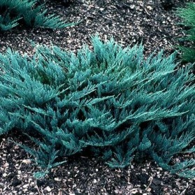 Juniperus horizontalis Blue Chip (jalovec polehavý)