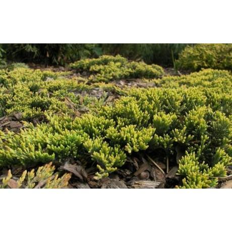 Juniperus horizontalis Golden Carpet (jalovec polehavý)