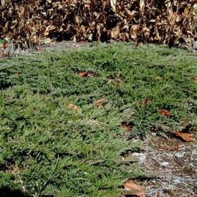 Juniperus horizontalis Prince of Wales (jalovec polehavý)