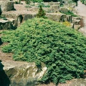 Juniperus procumbens Nana (jalovec)