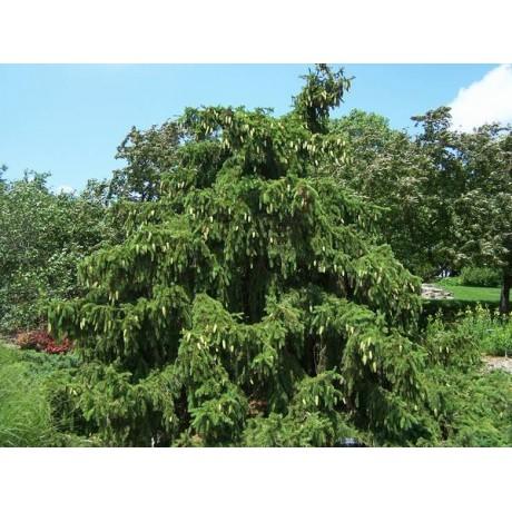 Picea abies Acrocona (smrk ztepilý)