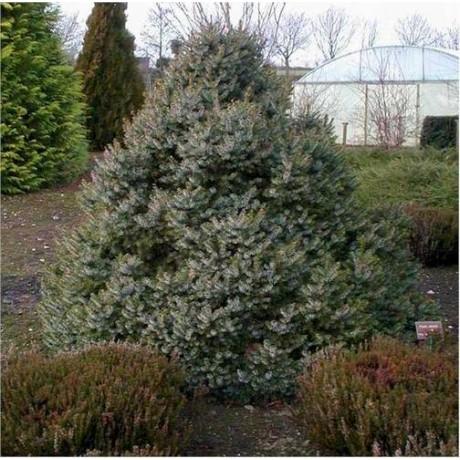 Picea omorika Nana (smrk omorika)