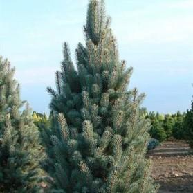 Picea pungens Retroflexa (smrk pichlavý)
