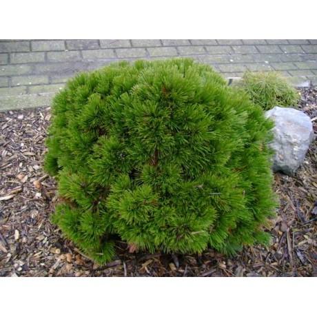 Pinus leucodermis Schmidtii (borovice bělokorá)