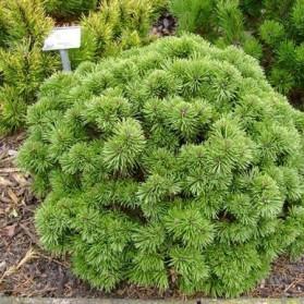 Pinus mugo Allgau (borovice kleč)