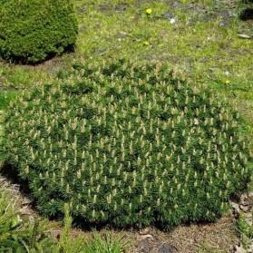 Pinus mugo Benjamin (borovice kleč)