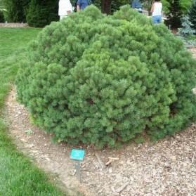 Pinus mugo Mops (borovice kleč)
