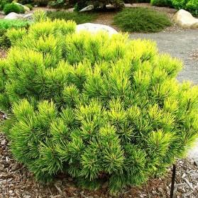 Pinus mugo Ophir (borovice kleč)