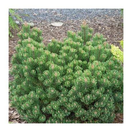 Pinus mugo Sherwood Compact (borovice kleč)