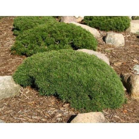 Pinus mugo var. pumilio ( borovice kleč)