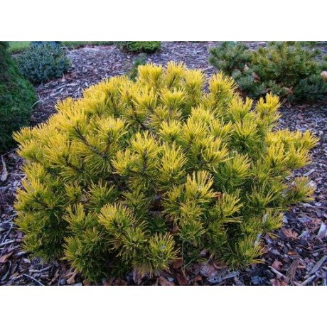 Pinus mugo Wintergold (borovice kleč)