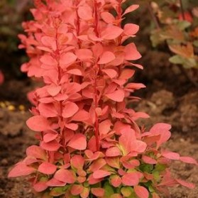 Berberis thunbergii Orange Rocket (dřišťál thunbergův)