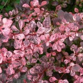Berberis thunbergii Rose Glow (dřišťál thunbergův)
