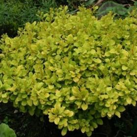 Berberis thunbergii Tiny Gold (dřišťál thunbergův)