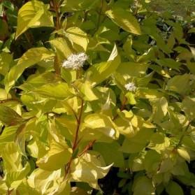 Cornus alba Aurea (svída bílá)