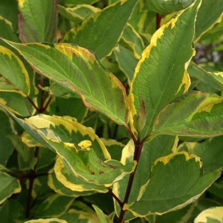 Cornus alba Gouchaultii (svída bílá)