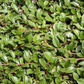 Cotoneaster dammeri Eichholz (skalník Dammerův)