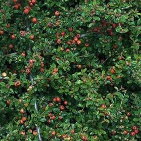 Cotoneaster dammeri Evergreen (skalník Dammerův)