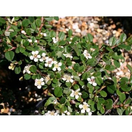 Cotoneaster procumbens (skalník rozprostřený)