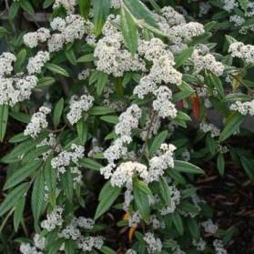 Cotoneaster salicifolius Sympathie (skalník vrbolistý)