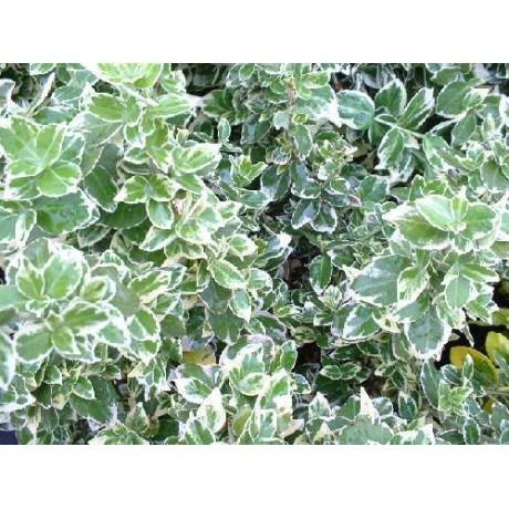 Euonymus fortunei Emerald Gaiety (brslen Fortuneův)
