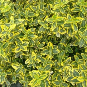 Euonymus fortunei Emerald Gold (brslen Fortuneův)