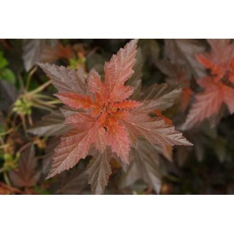 Physocarpus opulifolius Andre (tavola kalinolistá)