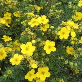 Potentilla fruticosa Goldfinger (mochna křovitá)