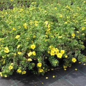 Potentilla fruticosa Goldteppich (mochna křovitá)