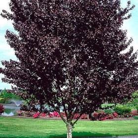 Prunus cerasifera Nigra (myrobalán červenolistý)
